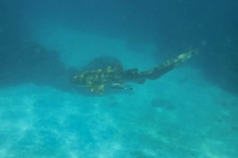Phi Phi Island Zebra Shark